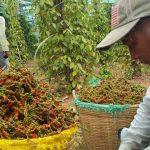 Doanh nghiệp kêu cứu vì 58 container hồ tiêu xuất khẩu đang mắc kẹt tại Nepal, Ấn Độ